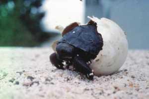 Baby Giant Tortoise hatching